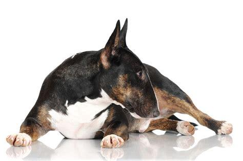 miniature bull terrier dog breed information miniature bull terrier dogs breed information omlet