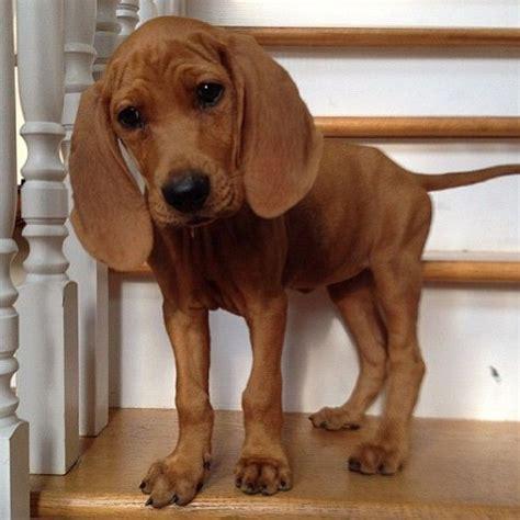 redbone hound puppies redbone coonhound pets