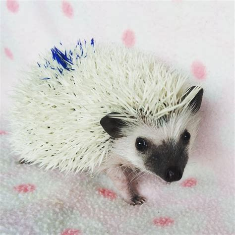 buy a l near me where to buy a hedgehog near me