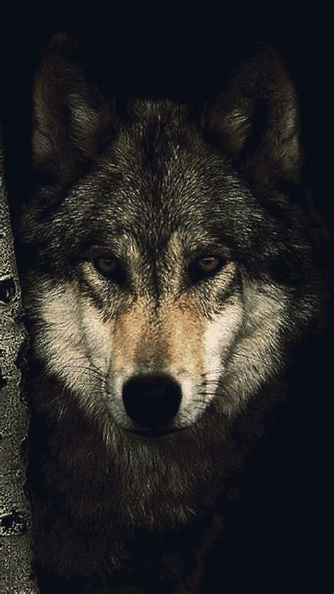 wallpaper iphone 6 wolf black wolf hd wallpaper for your mobile phone