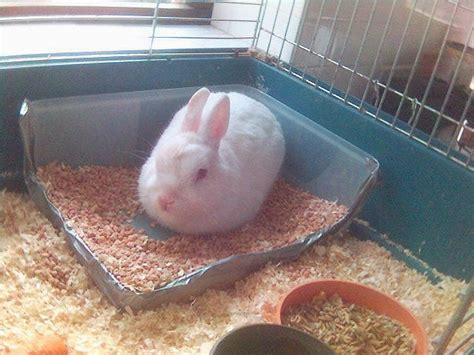how to litter netherland rabbits how to litter a netherland