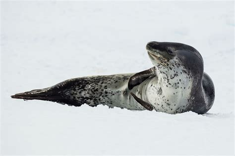 the sea l leopard seal