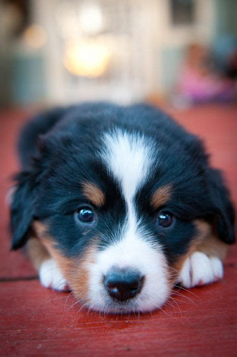 cutest puppies in the whole world 101 best cutest puppies in the whole wide world images on