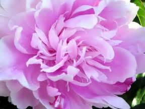 Pianese Flowers File Peony Closeup Jpg Wikipedia
