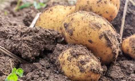 coltivare patate in vaso come coltivare le patate in vaso tutti i consigli leitv