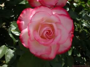 imagenes de rosas sangrientas siempre una rosa preciosa