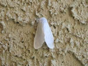 White Moths In Garden by Pest To Out For Satin Moth Flowery Prose