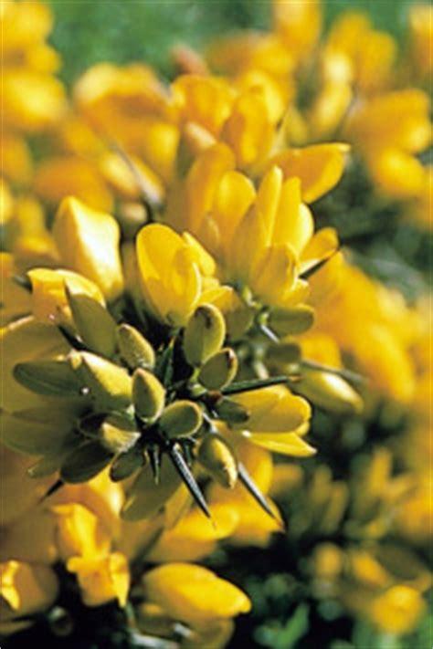 quanti sono i fiori di bach come scegliere i fiori di bach fiori di bach caroldoey