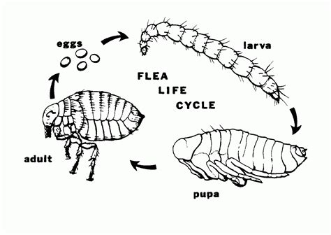hornet cycle diagram fleas cottage country pest