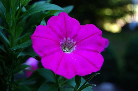 petunia flowers petunia flower pictures meanings