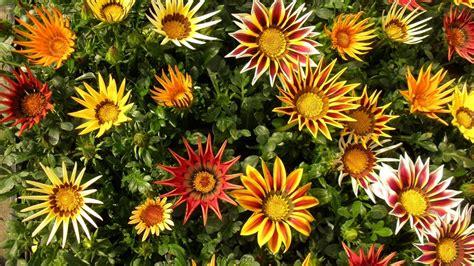 gazania fiore gazania il fiore che di sera si chiude ital agro