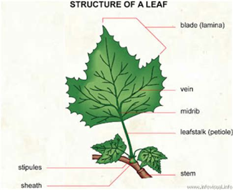 tree and leaf diagram modul pilihan struktur dan fungsi tumbuhan