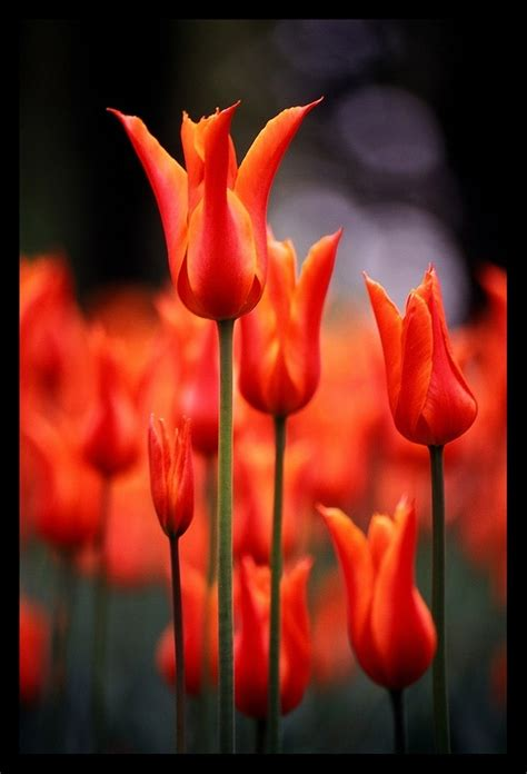 17 Best Images About Ottoman Turkish Style Tulips Ottoman Tulip