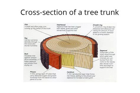 tree cross section xylem and phloem tree diagram www pixshark com images