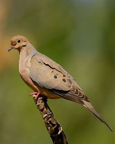 mourning dove birds i have seen pinterest