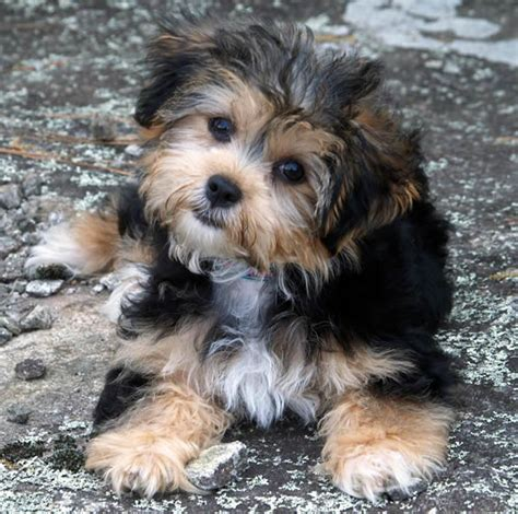shih tzu and yorkie mix puppies yorkie chon grown