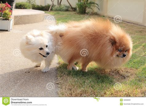pomeranian mating pomeranian dogs mating stock photo image 42669091