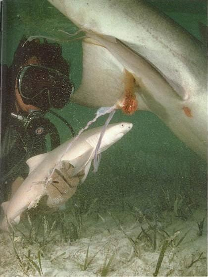 baby shark natal yes shark hunting is legal but is it necessary