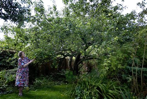 vote for the original bramley apple for tree of the year