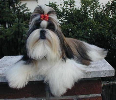 shih tzu wisconsin shih tzu hondenrassen en eigenschappen