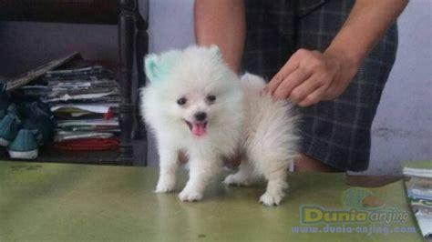 Anjing Minipom Stambum dunia anjing jual anjing pomeranian minipom jantan