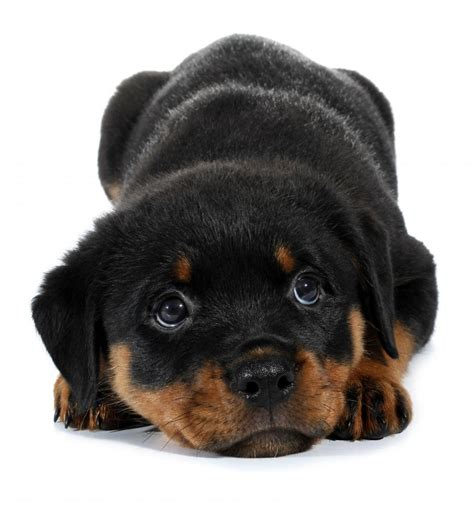 rottweiler puppy images of rottweilers puppies www imgkid the image kid has it
