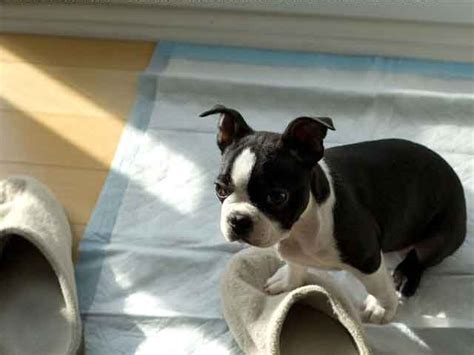 Stop Bulldog Shedding by Boston Terriers For Sale In Nc