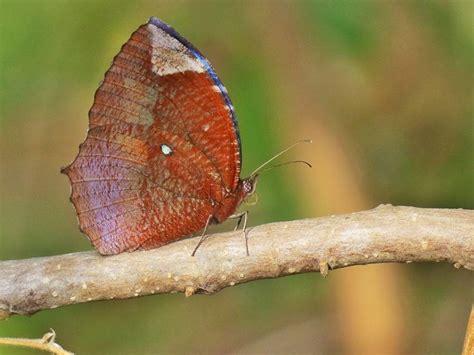 Guess Kupu Kupu Rosegold 17 best images about butterflies palmfly elymnias on bali indonesia mike d
