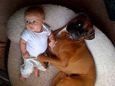 alimentazione boxer boxer cuccioli cani taglia media cuccioli di boxer