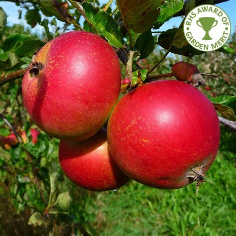 how for an apple tree to produce fruit apple tree aka pippin purchase apple trees