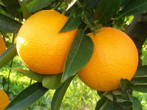 The Fruit by Orange Fruit Hd Wallpaper Fruits Wallpapers