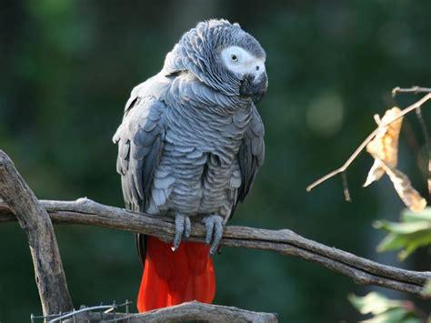 gabbia cenerino pappagallo cenerino pappagalli caratteristiche