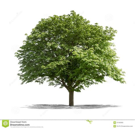 white or green tree green tree on a white background royalty free stock photo