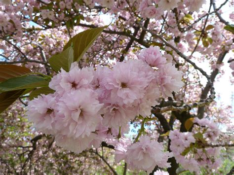 2 cherry tree foxboro ma flowering trees in massachusetts