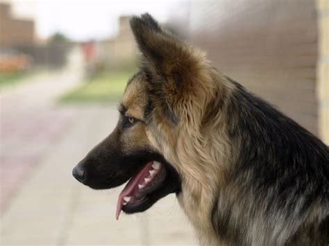 puppy profile profile of a wolfy in a city animal photos