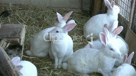 white rabbits royalty  video  stock footage
