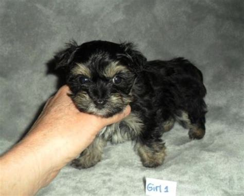 yorkie poo weight chart 66 best images about terrys yorkies puppies on terry o quinn boys and health