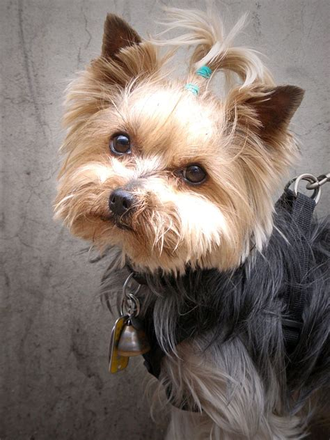 Fileyorkshire  Ee  Terrier Ee    Jpg Wikimedia Commons