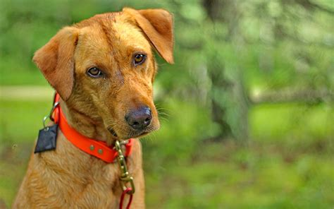 how do dogs get mange what is mange a complete guide to mange by the labrador site