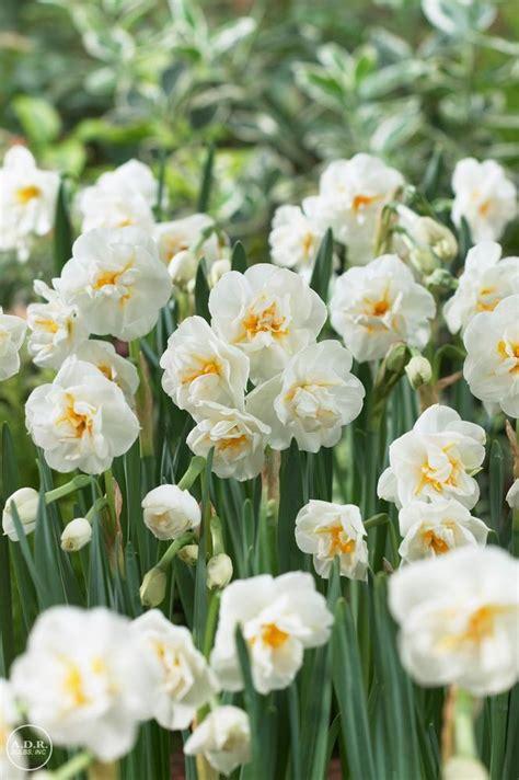 narcissi bunch flowering bridal crown daffodil  adr