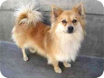 corgi and pomeranian corgi pomeranian mix you mixed a corgi with what corgi pomeranian mix