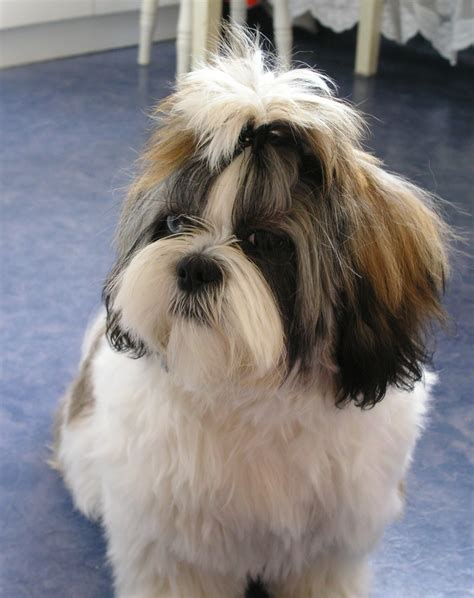 shih tzu description shih tzu picture quality pictures on animal picture society