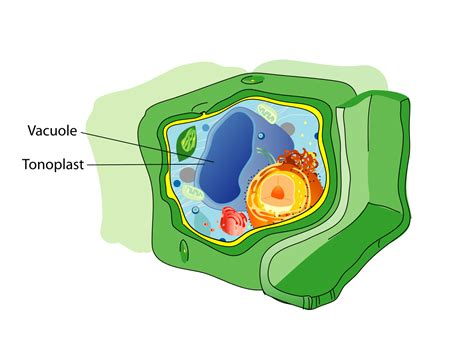 diagram of vacuole file plant cell structure svg vacuole svg wikimedia commons