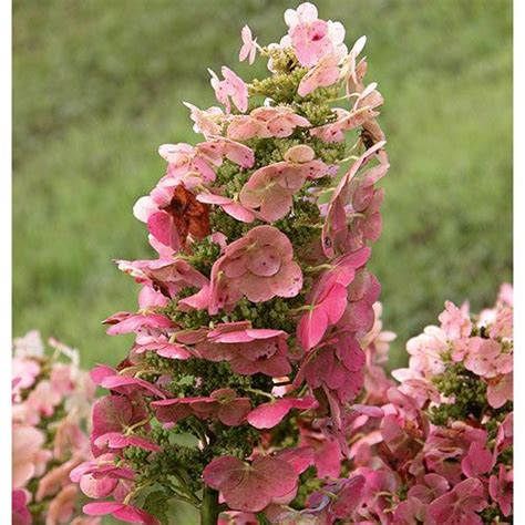 ruby slippers oakleaf hydrangea reviews hydrangea quercifolia ruby slippers white flower farm