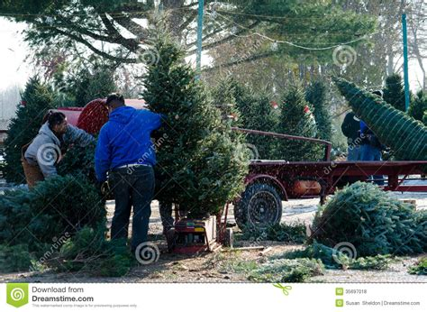 preparing christmas trees editorial stock photo image