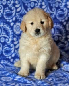 free puppies concord nc pets concord nc free classified ads