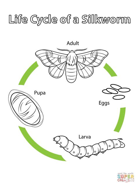 Carpet Moth Life Cycle by Life Cycle Of A Silkworm Coloring Page Free Printable