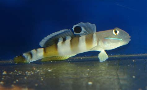 Tiger Sleeper Goby by Tiger Goby