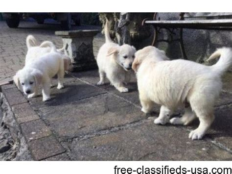 golden retriever puppies omaha ne akc golden retriever puppies animals omaha nebraska announcement