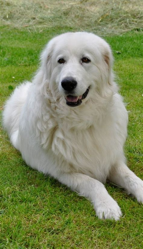 maremma golden retriever mix 25 best ideas about maremma sheepdog on great pyrenees dogs and great